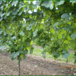 Odlistění ve vinici 2